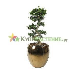 Фикус — бонсай в дизайнерском кашпо (Ficus-bonsai)
