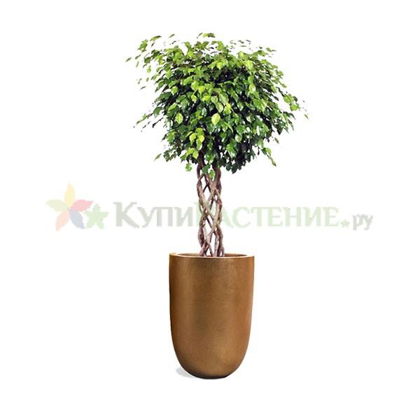 Фикус в дизайнерском кашпо (Ficus)