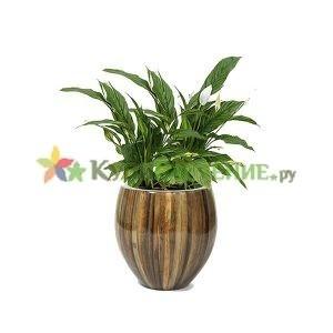 Спатифиллум в дизайнерском кашпо (Spathiphyllum)