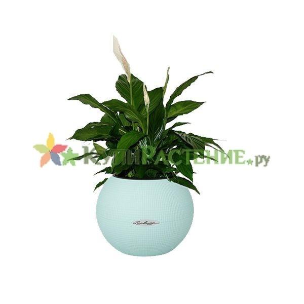 Спатифиллум в кашпо с автополивом (Spathiphyllum)