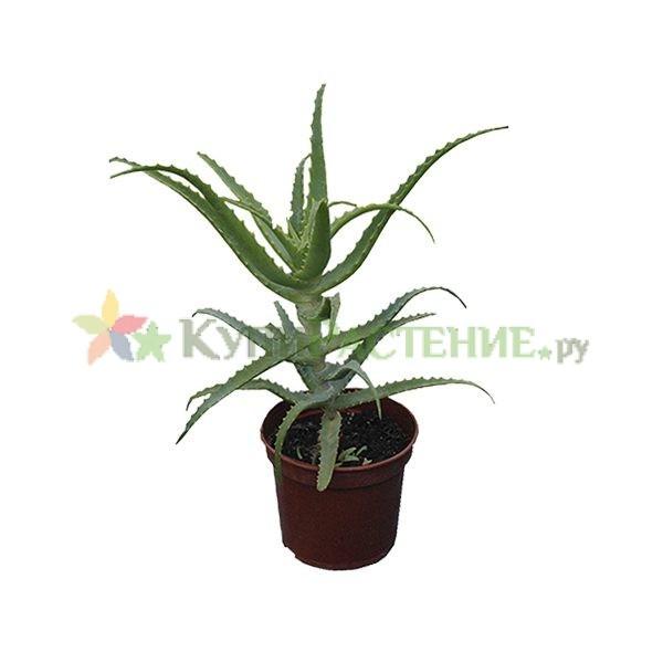 Алоэ - cтолетник (Aloe arborescens)