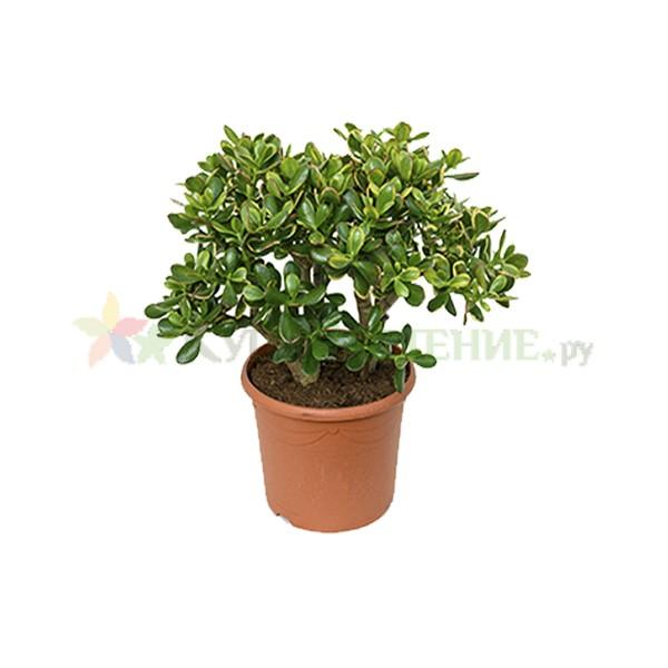 Крассула Овата - денежное дерево (Crassula ovata)