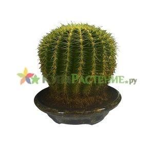 Эхинокактус Грузони (Echinocactus grusonii)