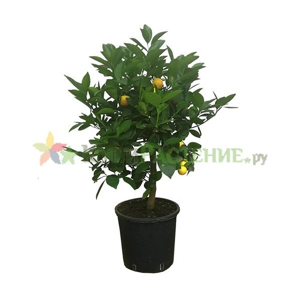 Мандариновое дерево - Цитрофортунелла (Citrofortunella microcarpa)