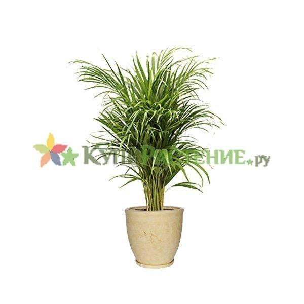 Арека в керамическом кашпо (Chrysalidocarpus in ceramic)