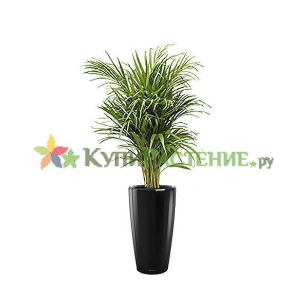 Арека в кашпо с автополивом (Chrysalidocarpus in pots) black