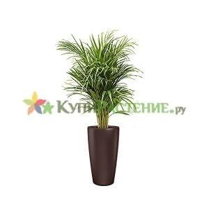 Арека в кашпо с автополивом (Chrysalidocarpus in pots) brown