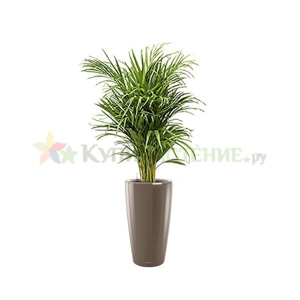 Арека в кашпо с автополивом (Chrysalidocarpus in pots) grey