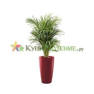 Арека в кашпо с автополивом (Chrysalidocarpus in pots) red