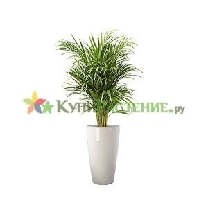 Арека в кашпо с автополивом (Chrysalidocarpus in pots) white