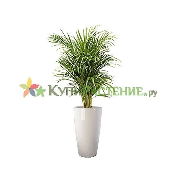 Арека в кашпо с автополивом (Chrysalidocarpus in pots) white