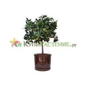 Мандариновое дерево в керамическом горшке (Citrofortunella microcarpa in ceramic)