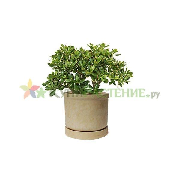 Денежное дерево -крассула в керамическом горшке (Crassula ovata in ceramic) бежевый