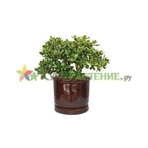 Денежное дерево -крассула в керамическом горшке (Crassula ovata in ceramic) коричневвый