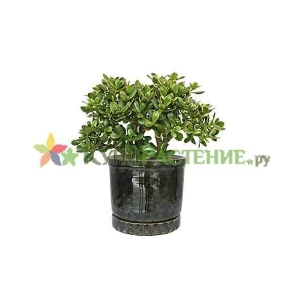 Денежное дерево -крассула в керамическом горшке (Crassula ovata in ceramic) зеленый