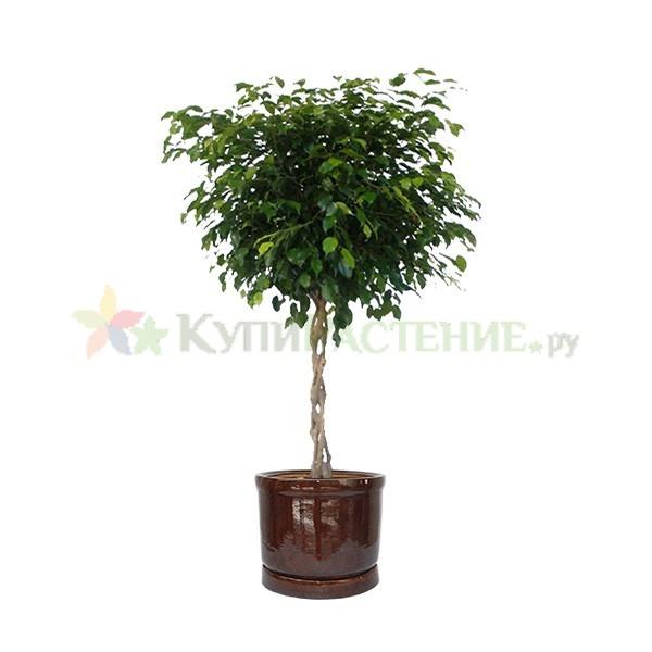 Фикус Бенджамина Экзотик переплетенный в керамическом горшке (Ficus benjamina exotic bound in ceramic) коричневый
