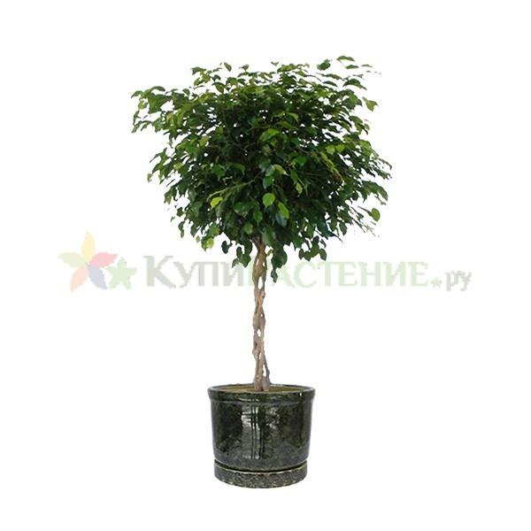 Фикус Бенджамина Экзотик переплетенный в керамическом горшке (Ficus benjamina exotic bound in ceramic) зеленый