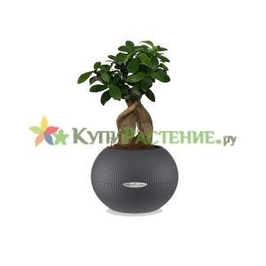 Фикус бонсай Микрокарпа в кашпо с автополивом (Ficus microcarpa in pots)