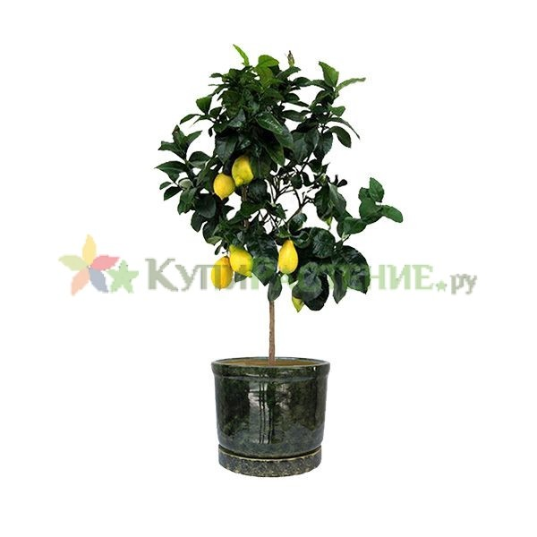 Лимонное дерево в керамическом горшке (Lemon Tree in ceramic)