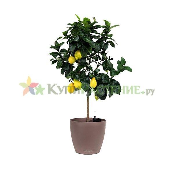 Лимонное дерево в кашпо с автополивом (Lemon Tree in pots)