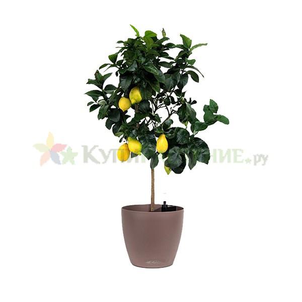 Лимонное дерево в кашпо с автополивом