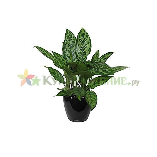 Аглонема в кашпо с автополивом (aglaonema in pots)