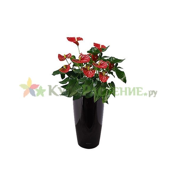 Антуриум в кашпо с автополивом (anthurium in pots)
