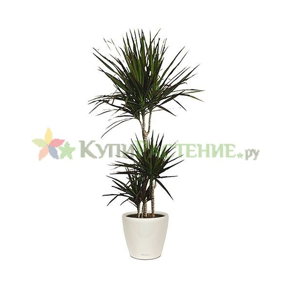 Драцена Маргината в кашпо с автополивом (dracaena-marginata in pots)