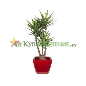 Юкка разветвленная в кашпо с автополивом (yucca-gigantea in pots)