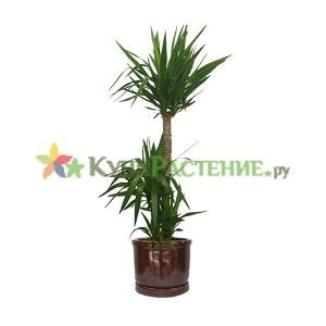 Юкка в керамическом горшке (yucca in ceramic)