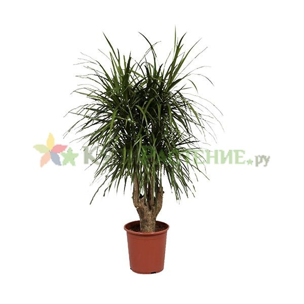 Драцена Маргината разветвленная (dracaena-marginata)