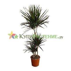 Драцена Маргината 3 ствола (dracaena-marginata)