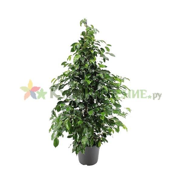 Фикус Бенджамина Даниэль (Ficus benjamina Danielle)