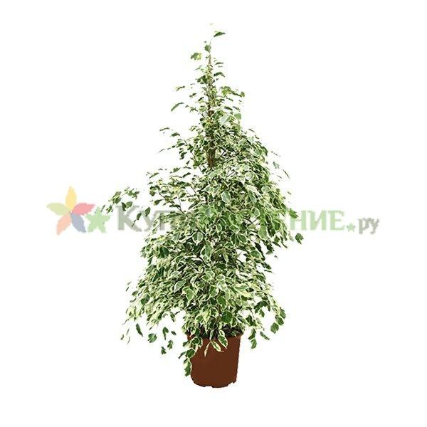 Фикус Бенджамина Старлайт (Ficus benjamina Starlight)