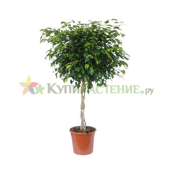 Фикус Бенджамина Экзотик - переплетенный (Ficus benjamina exotic bound)