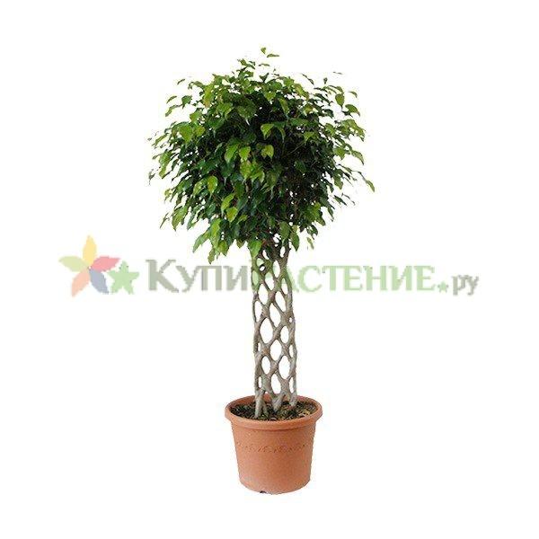 Фикус Бенджамина Экзотик - решетка (Ficus benjamina exotic grid)