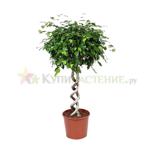 Фикус Бенджамина Экзотик - двойная спираль (Ficus benjamina exotic grid double curl)