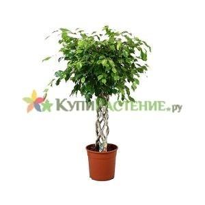 Фикус Бенджамина Экзотика - цилиндр (Ficus benjamina exotic roll)