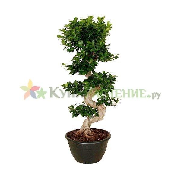 Фикус микрокарпа бонсай (Ficus microcarpa)