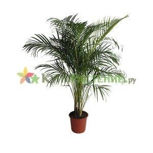Пальма Арека - Хризолидокарпус (Chrysalidocarpus)