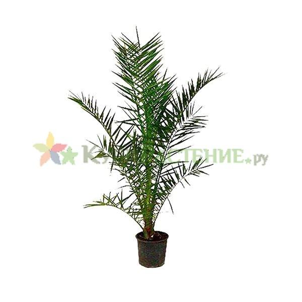 Финиковая пальма - Финик канарский (Phoenix canariensis)