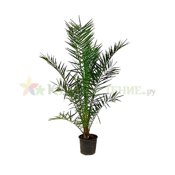 Финиковая пальма (Финик канарский)
