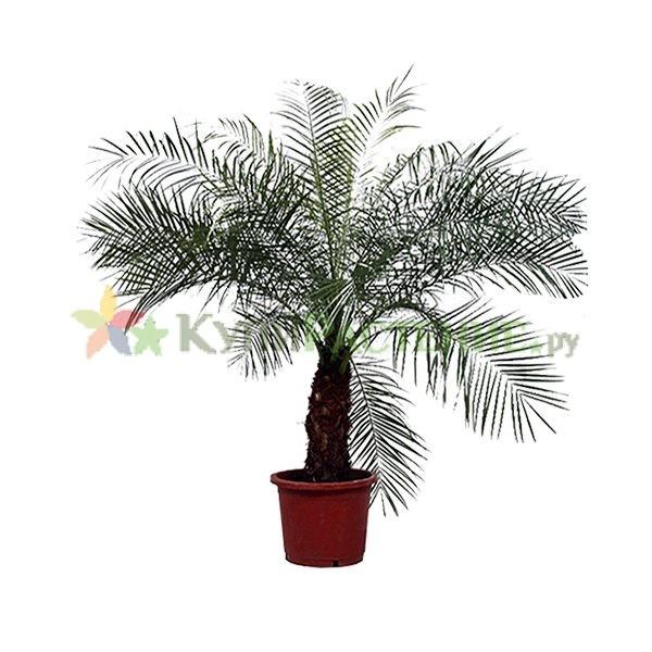 Пальма Финик Робелини (Phoenix roebelenii)