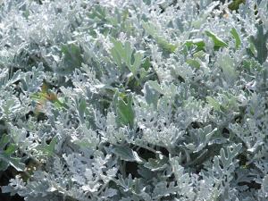 Цинерария (cineraria)