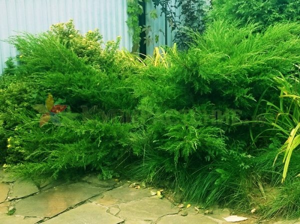 Можжевельник средний Минт Джулеп (juniperus pfitzeriana mint julep)