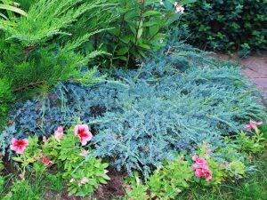 Можжевельник лежачий Нана (juniperus procumbens nana)
