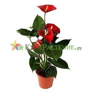 Антуриум - мужское счастье (anthurium)
