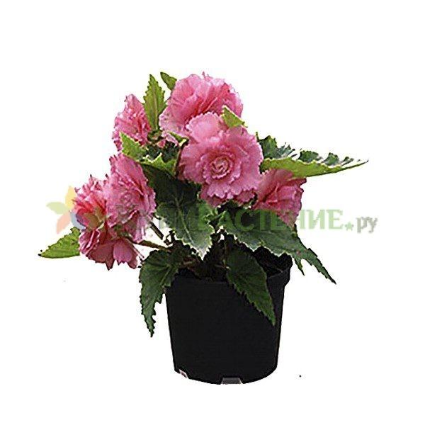 Бегония клубневая (begonia)