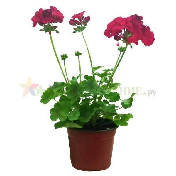 Герань - пеларгония (geranium)