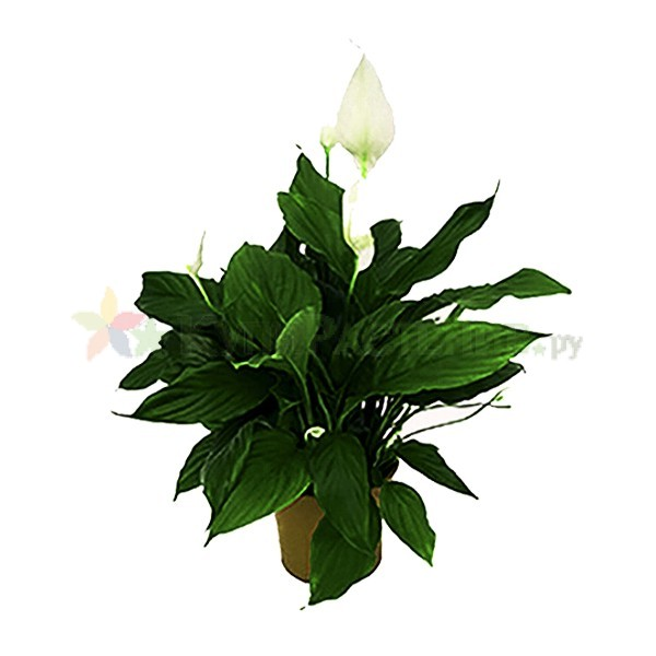 Спатифиллум - женское счастье (spathiphyllum)